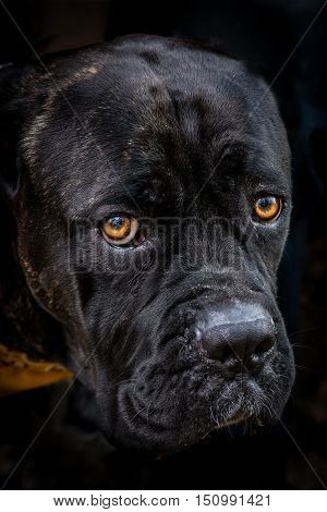 A black labrador mix dog close up photo with the focus on the eyes.
