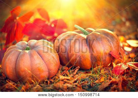 Autumn Halloween Pumpkins. Thanksgiving day background. Pumpkin patch. Beautiful Holiday Autumn festival concept. Fall scene. Orange pumpkin over beauty bright autumnal nature background. Harvest