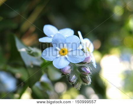 Blue forget-me-not flowers in the garden (forget me nots)
