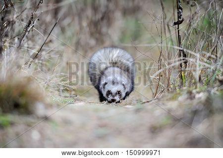 Close up wild polecat in autumn forest