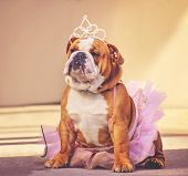 a cute bulldog dressed up in a pink tutu and a princess tiara crown toned with a retro vintage insta poster