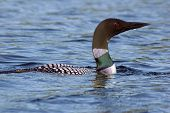 stock photo of loon  - Common loon in blue water of north lake - JPG