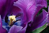 Soft abstract image of beautiful variegated purple tulip.  Macro with extremely shallow dof.