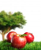 picture of apple tree  - Royal gala Apples on Grass with an Apple Tree in the background - JPG