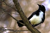 picture of willy  - Willy Wagtail on a branch of a tree a west australian wild bird - JPG