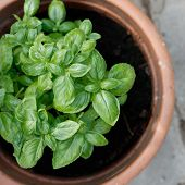 Green basil in a clay pot
