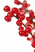 foto of winterberry  - Winterberry Christmas branches with red holly berries - JPG
