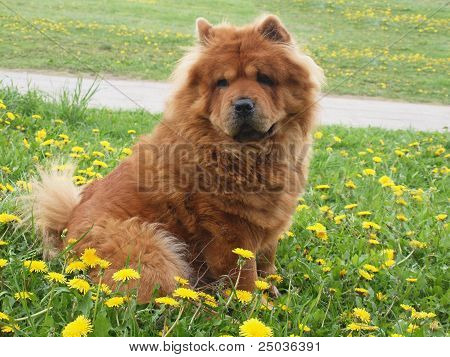 Brown Chow Chow Dog