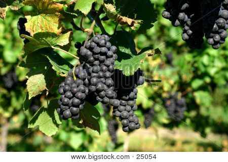 Bunches Of Purple Grapes