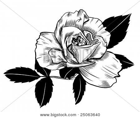 Hand-drawn rose. Vector illustration.