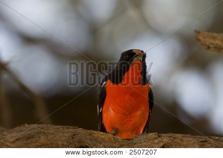 Crimson Breasted Shrike