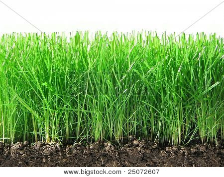 Green grass with ground and roots isolated on the white background.
