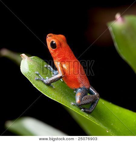 red poison dart frog blue legs beautiful rainforest species of costa rica and panama kept as a pet in a terrarium, oophaga pumilio exotic amphibian toxic and poisonous animal of tropical rain forest