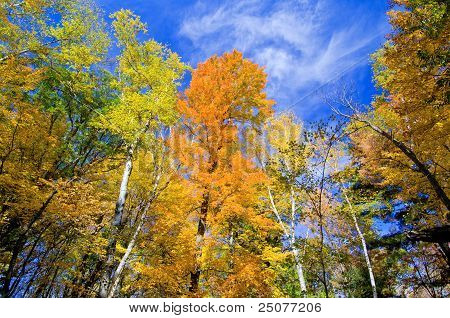 Aspen And Maple Forest, Autumn