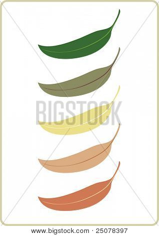 Illustration of the unique Australian Eucalyptus tree leaf.