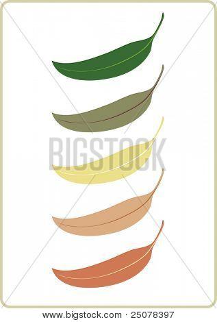 Illustration of the unique Australian Eucalyptus tree leaf.
