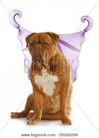 good dog - dogue de bordeaux wearing angel wings with reflection on white background