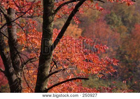 Brilliant Autumn Ash