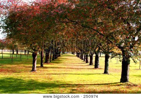 Cherry Orchard In Fall