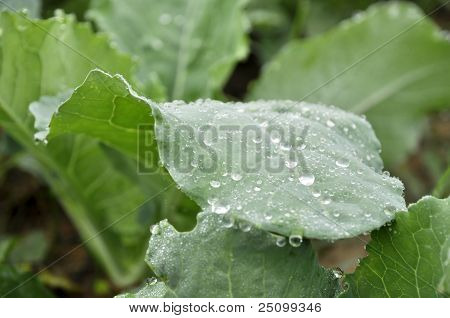 Kale Vegetable Dew Morning Drop