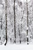 Birches In Snowy Forest Of Timiryazevskiy Park Of Moscow City In Overcast Winter Day poster
