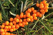 stock photo of sea-buckthorn  - sea buckthorn as fresh orange exotic fruit - JPG