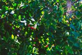 Close-up Of Beautiful Subtropical Berry Plant Shot In Queensland, Australia In Summer poster