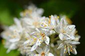 Fuzzy Deutzia White Flowers Close Up - Latin Name - Deutzia Scabra Var. Sieboldiana poster