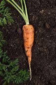 Raw Carrot. Fresh Carrot On The Soil. Fresh Carrot On The Soil Background. Carrot With Stem poster