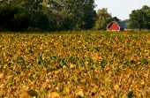 picture of rebs  - Reb barn in bean field in the fall at harvest time - JPG