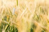 Wheat Rye Field, Ears Of Wheat Close Up. Harvest And Harvesting Concept. Ripe Barley On The Field On poster