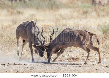 Greater kudus in Etosha National Park, Namibia