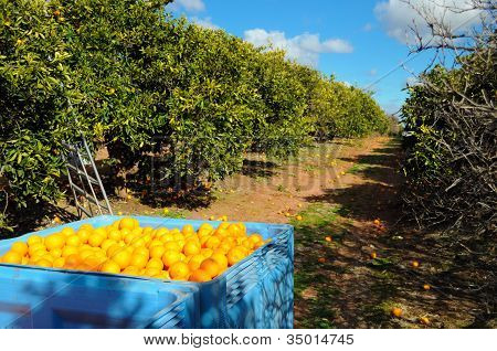 Full Bin Of Picked Oranges