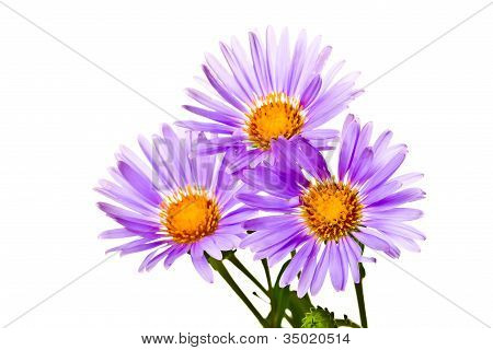 Chamomile On White Background