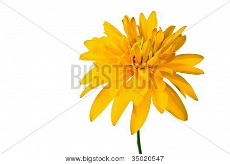 Summer Yellow  Flower