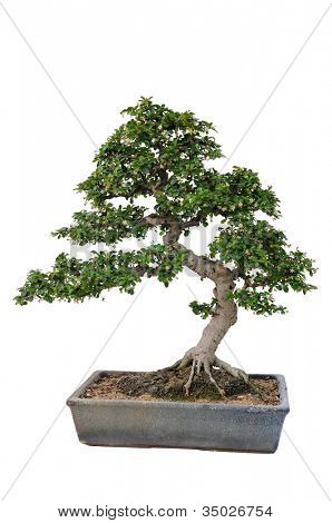 Bonsai tree in isolated white background