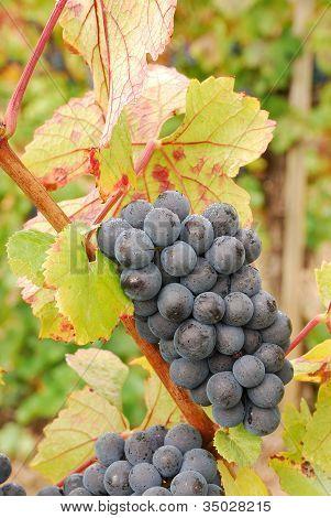 Ump Grapes