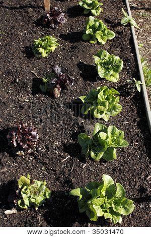 Lettuce Growing In A Garden