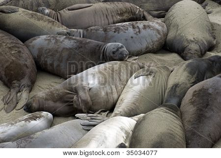Beach Of Seals