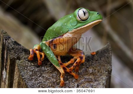 Tiger-Leg Monkey Treefrog