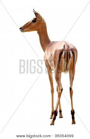 Impala over white background