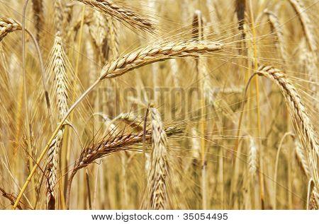 Campo de espigas de trigo de oro ondeando al viento en un día soleado de verano