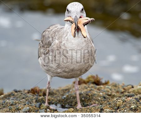 A seagull tries to eat a starfish that is too big for its mouth (selective focus)