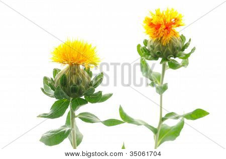 Two safflower flowers
