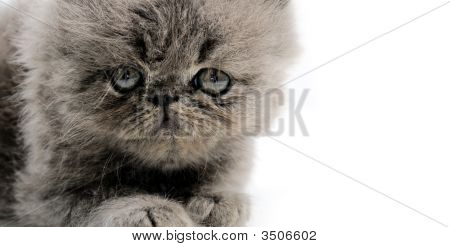 Persian Kitten Close Up