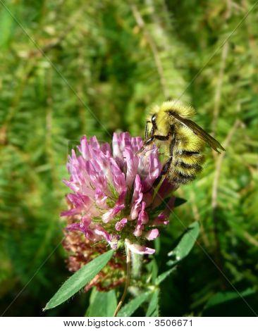Clover Bumblebee
