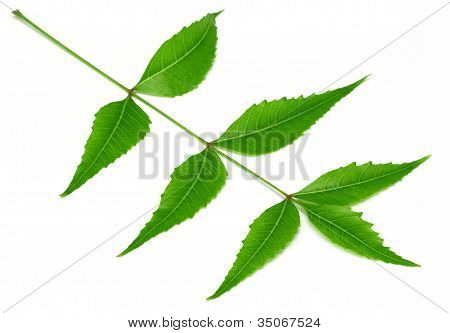 Tender medicinal neem leaves