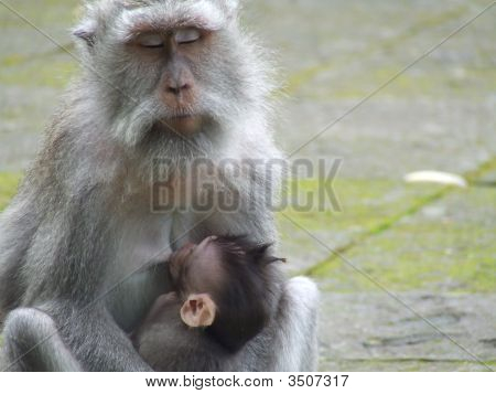 Monkey Mother In Ubud Monkey Forest, Bali, Indonesia