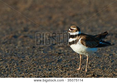 The Killdeer (charadrius Vociferus)