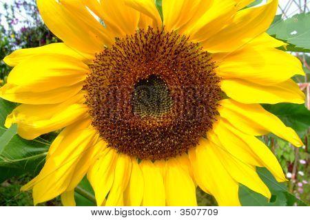 Bright Yellow Sunflower Close Up In Cameron Highlands Rose Garden